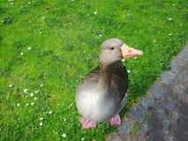 Nourriture de attente d'oie grise sur l'herbe en parc de Londres Photographie stock libre de droits