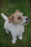 Nourriture de attente de câble de chien de terrier de renard Images libres de droits