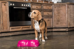 Nourriture de attente de chien de briquet près des cuvettes roses dans la cuisine Images stock