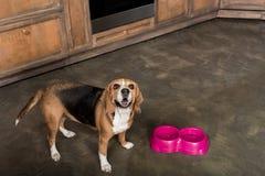 Nourriture de attente de chien de briquet près des cuvettes roses dans la cuisine Image libre de droits
