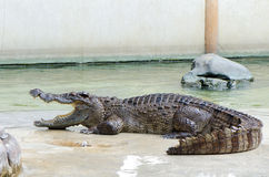Nourriture de attente de crocodile dans la ferme Photos stock