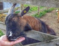 Nourriture de chèvre Photographie stock