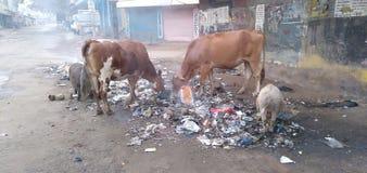 Nourriture de matin pour de pauvres vaches image libre de droits