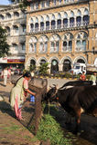 Nourriture de offre de personnes à la vache sainte chez Mumbai, Inde Photos stock