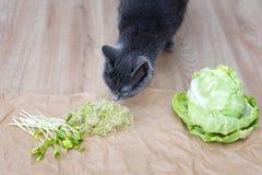 Nourriture grise de reniflement de chat, cabagge vert et verts micro Microgreens de Cutted sur le papier chiffonné de métier Cons Photo stock