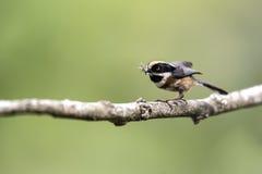 nourriture Noir-throated de prise de mésange pour alimenter en nature Photo stock
