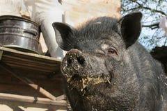 Nourriture noire de porc souillée par vies contentée par museau Photo libre de droits