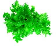 Nourriture saine et de régime : salade verte d'isolement sur le fond blanc Images libres de droits