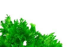 Nourriture saine et de régime : salade verte d'isolement sur le fond blanc Image stock