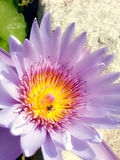 Nous : Abeille et fleur Photographie stock