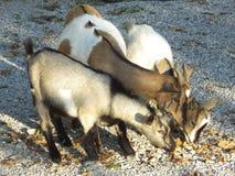 Nous trois - chèvre domestique avec des enfants (hircus d'aegagrus de Capra) Images stock