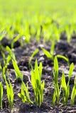 Nouveau blé Photographie stock libre de droits