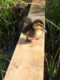 Nouveau canard borned Image stock