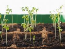 Nouveau concept de début de la vie Graine de germination de plan rapproché de sol Plante grandissante photos libres de droits