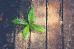 Nouveau concept de la vie et d'idée : Arbre vert de pousse s'élevant du vieux bois de construction dans le style de vintage images stock