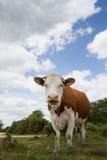 Nouveau Forest Cattle Image stock