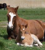 Nouveau Forest Pony And Foal Sitting Down photos libres de droits