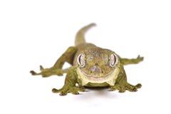 Nouveau gecko calédonien moussu (chahoua de Mniarogekko) Photo libre de droits