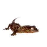 Nouveau gecko calédonien moussu d'isolement sur le blanc photo libre de droits