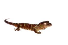 Nouveau gecko calédonien moussu d'isolement sur le blanc image libre de droits