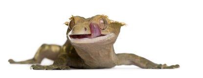 Nouveau gecko crêté calédonien, ciliatus de Rhacodactylus images stock