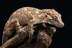 Nouveau gecko inégal calédonien (Rhacodactylus Auriculatus) photo libre de droits