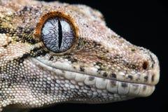 Nouveau gecko inégal calédonien (Rhacodactylus Auriculatus) photographie stock libre de droits