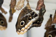 Nouveau papillon émergeant des chrysalides accrochantes Photos stock