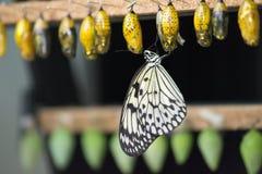 Nouveau papillon Image stock