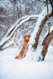 Nouveau séjour de chien d'arrêt de l'Ecosse près de l'hiver de chute de neige de treeat photos libres de droits