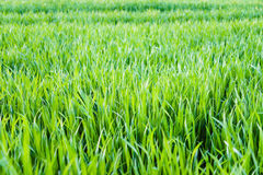 Nouveau terrain de jeu de nouvelle texture naturelle d'herbe verte Photo libre de droits