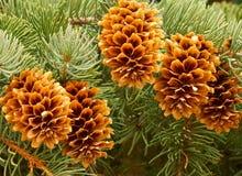 Nouveaux cônes frais de pin accrochant sur un arbre dans la forêt image stock