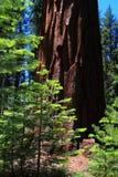 Nouveaux et vieux arbres de séquoia Images libres de droits