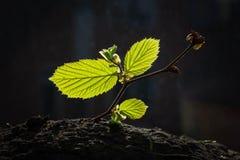 Nouveaux feuilles et bourgeons de la noisette Photos libres de droits