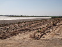 Nouveaux fruits d'Israel Negev de jardin Photo libre de droits