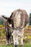 Nouveaux maman et bébé d'âne de forêt Photos stock