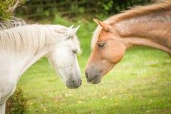 Nouveaux poneys de forêt Photo stock