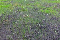 Nouvel élevage d'herbe Image libre de droits