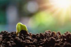 Nouvel élevage vert de pousse Photos libres de droits