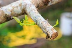 Nouvelle branche d'un élevage de citron Image libre de droits