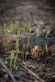 Nouvelle croissance de la forêt après le feu Photo libre de droits