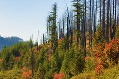 Nouvelle croissance de vieux Forrest Fire photos libres de droits