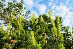 Nouvelle croissance sur des sylvestris écossais ou écossais de pinus de pins contre le ciel Images stock