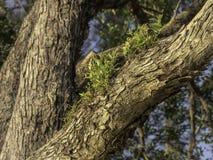 Nouvelle croissance sur une branche d'arbre de gomme photos stock