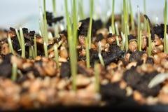Nouvelle germination de blé Photographie stock libre de droits