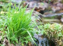Nouvelle herbe verte de ressort Images libres de droits