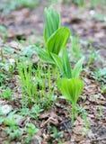Nouvelle herbe verte de ressort Photographie stock libre de droits