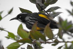 Nouvelle Holland Honey Eater Photos libres de droits