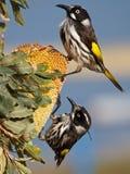 Nouvelle Holland Honeyeaters image libre de droits