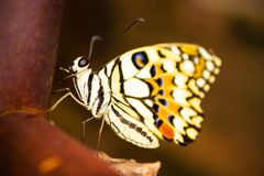 Nouvelle métamorphose de papillon photo stock